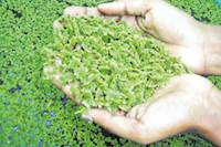 பால் உற்பத்தியை 20 %அதிகரிக்கும் அசோலா வளர்ப்பு முறைகள் - கால்நடைத்துறையினர் யோசனை