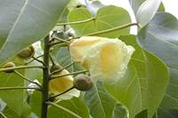 புயலைத் தாங்கும் மரம் பற்றித் தெரியுமா? அனைத்து தோல்வியாதிக்கும் அருமருந்தாகிறது!