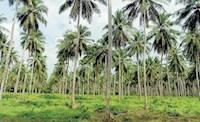 Nivar cyclone : புயல் காற்றில் இருந்து தென்னை மரங்களை பாதுகாப்பது எப்படி?