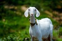 ஆடுகளின் ஜீரணத்தன்மையை அதிகரிக்க உதவும் முருங்கைக்காய் - ஆய்வில் தகவல்