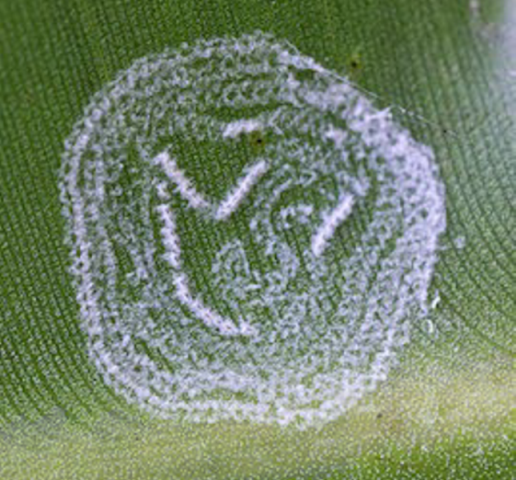 rugose whitefly egg stage