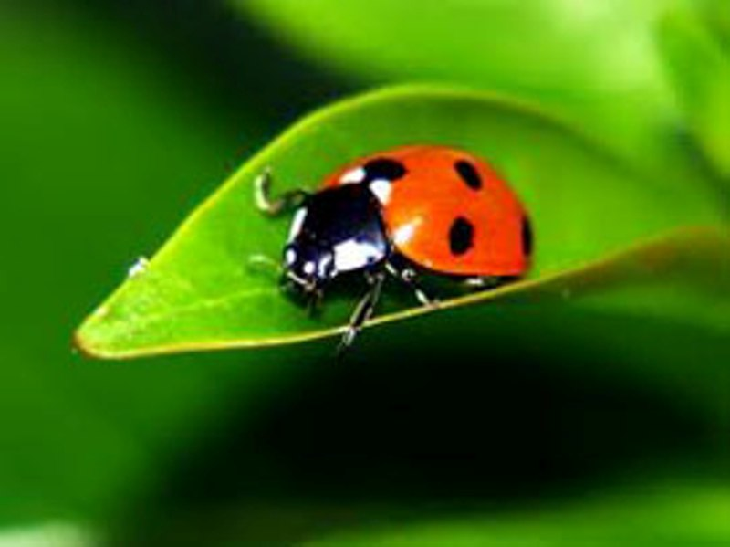 Natural Pest Control (Ladybug)