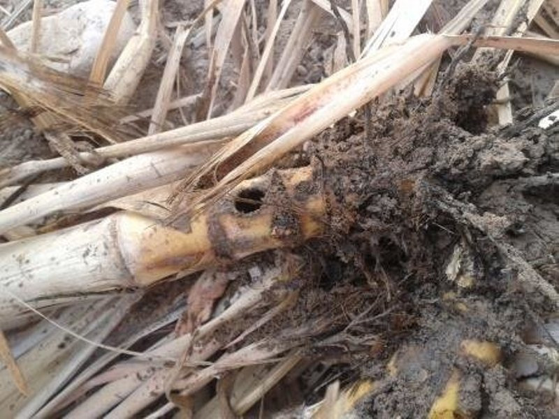damaged sugarcane root