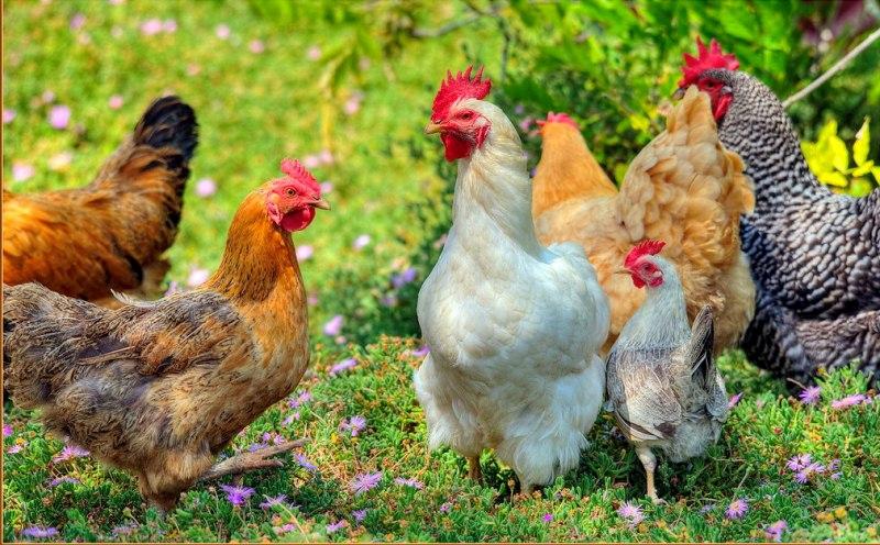 alternative medicine for hen