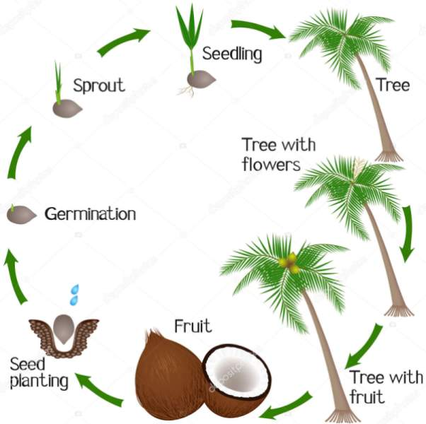 Coconut Cycle