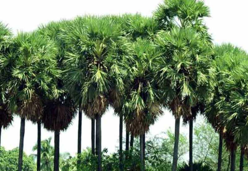 TN State Tree