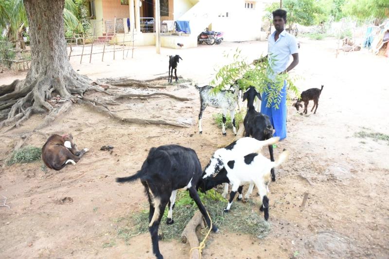 civil engineer engaged on goat farming