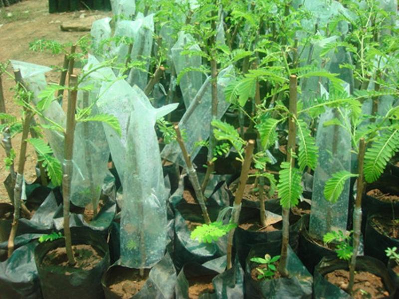 Amla saplings