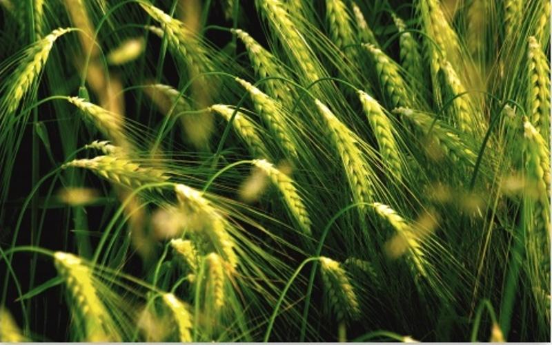 Rabri crop