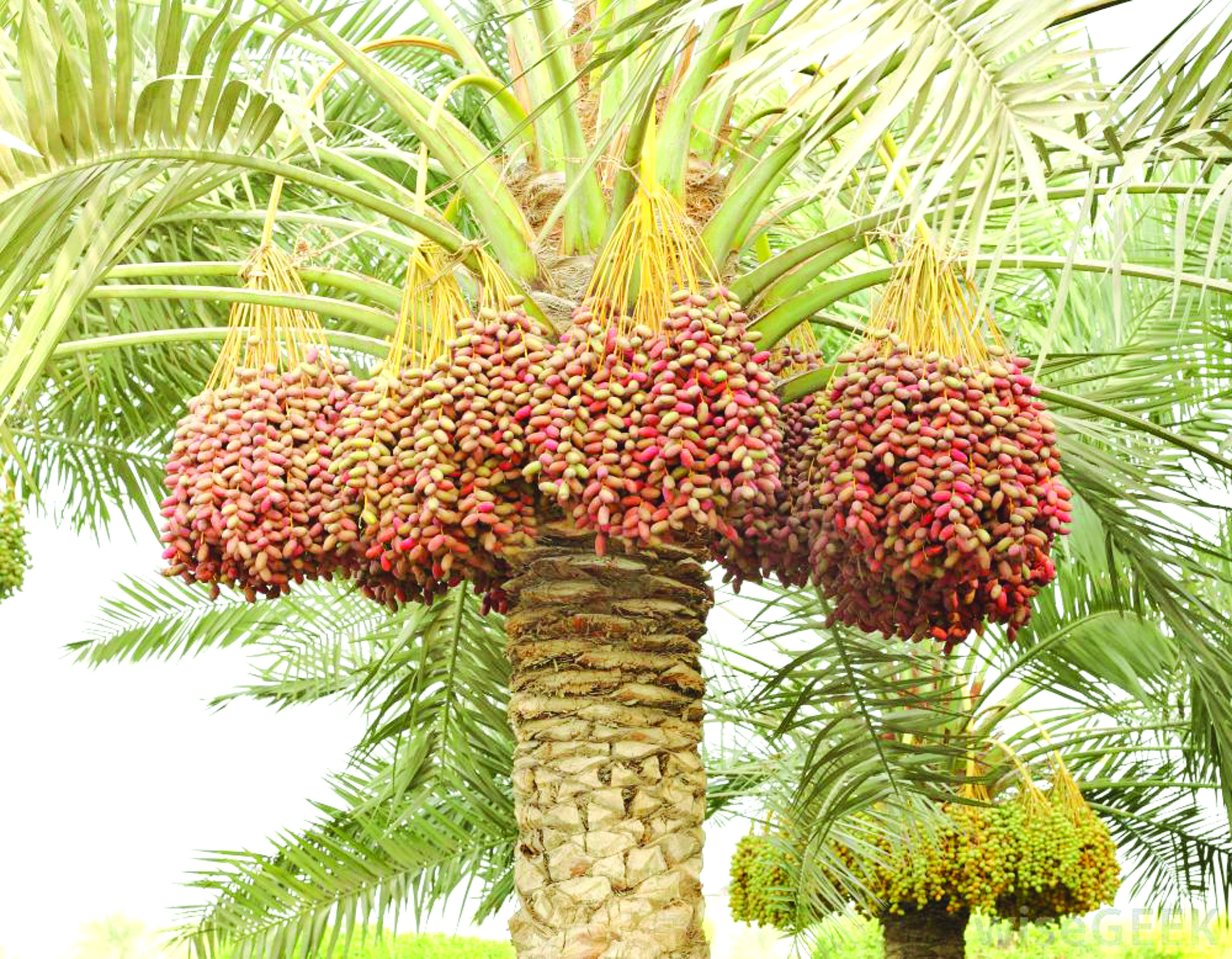 Dates Cultivation in Tamil Nadu