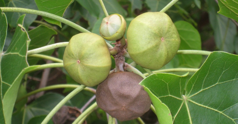 thespesia Fruit