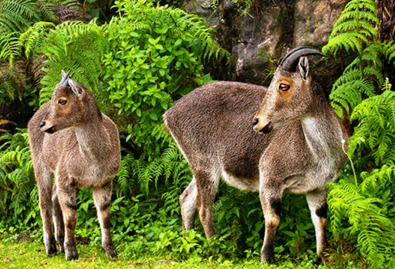 Nilgiri Tahr under threats