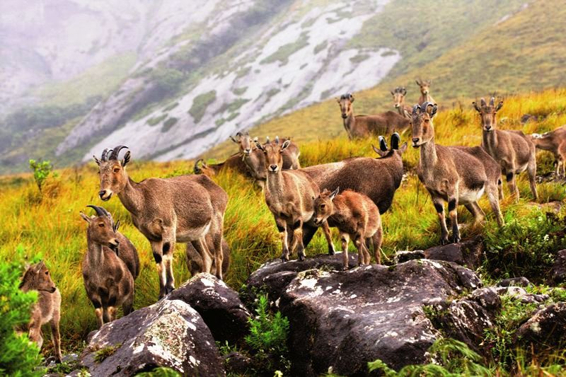 Droup of Nilgiri Tahr