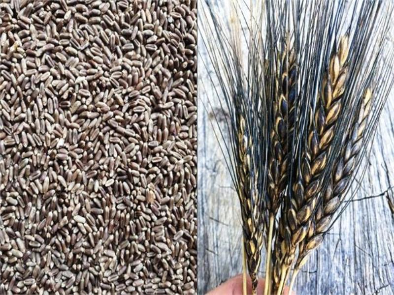 Balck Wheat