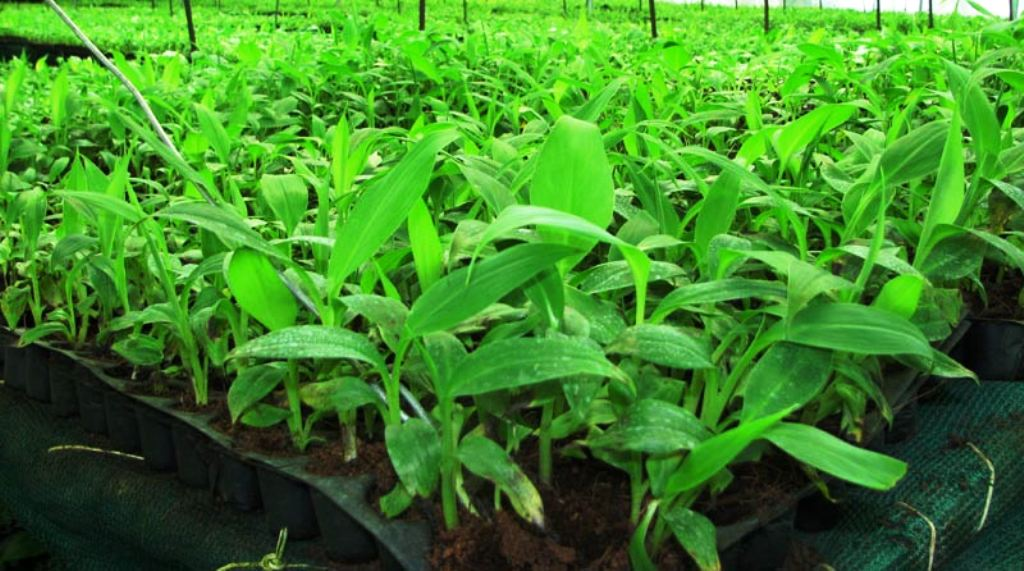 Banana tissue cultivation