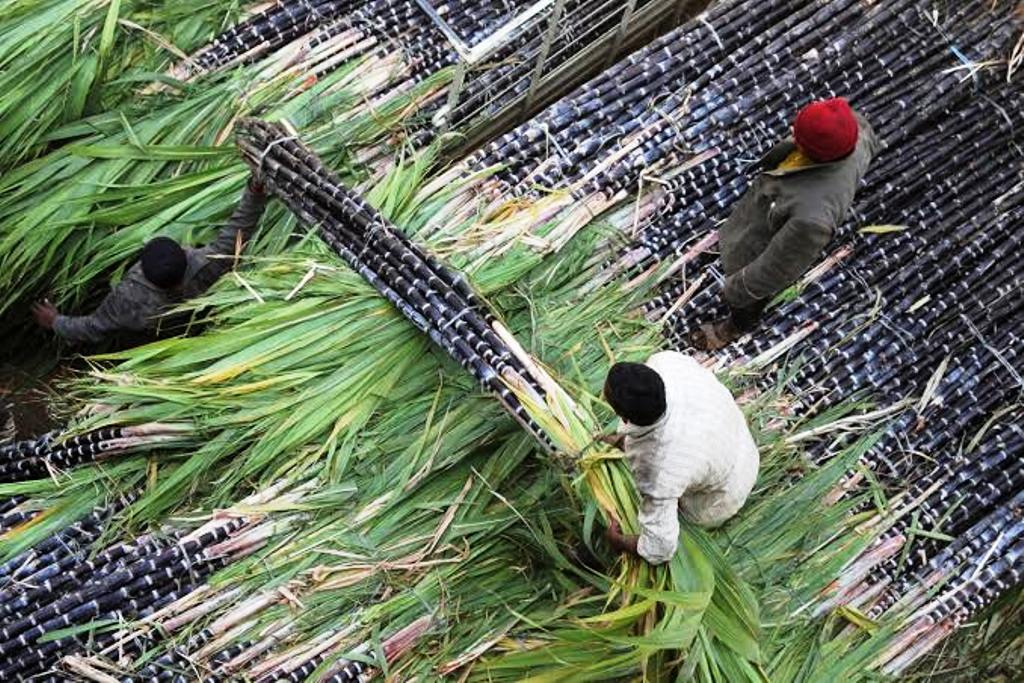 Sugarcane Growers