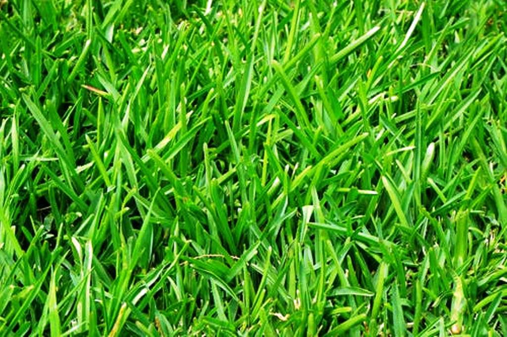 Neppiyar grass  prevent soil erosion