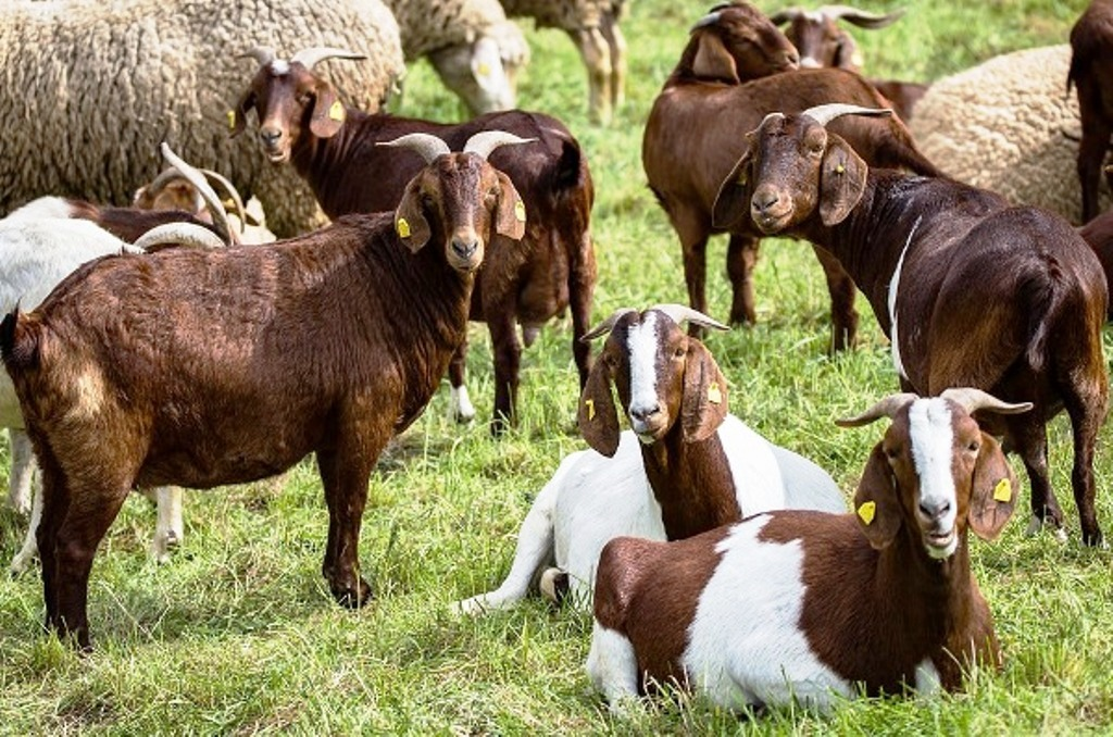Profitable Goat Farming