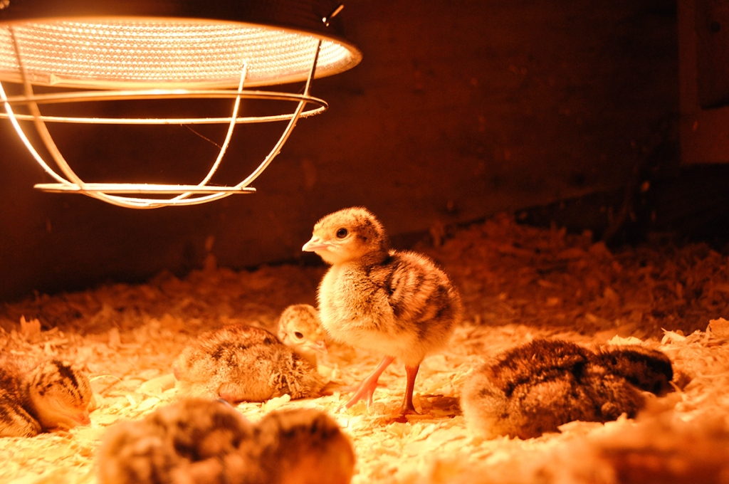 Heat Lamp can Protect new born