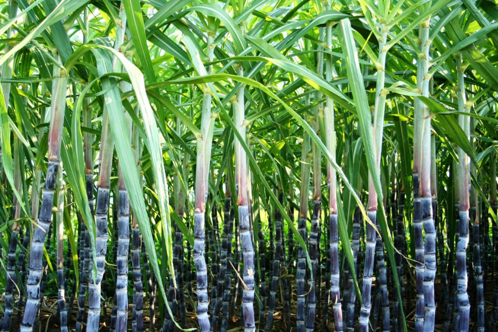 Insured your Sugarcane