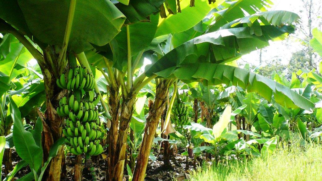banana plantation process