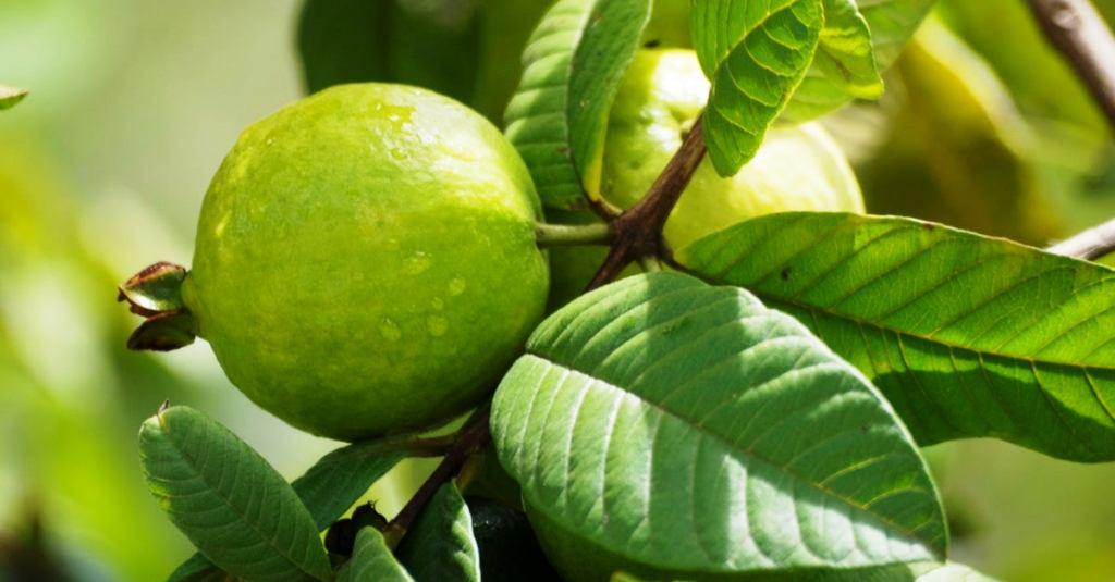 Guava Plantation