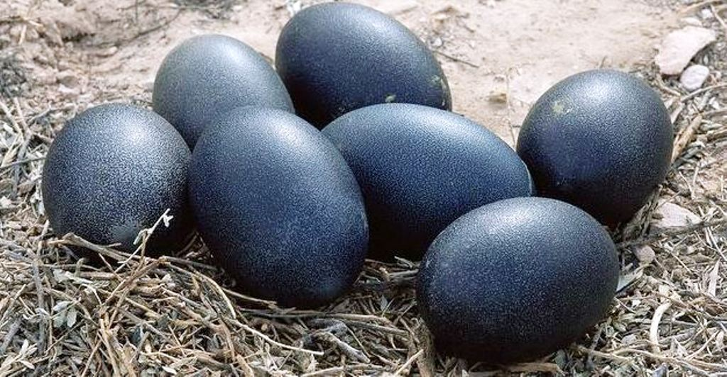 Healthy Kadaknath Egg