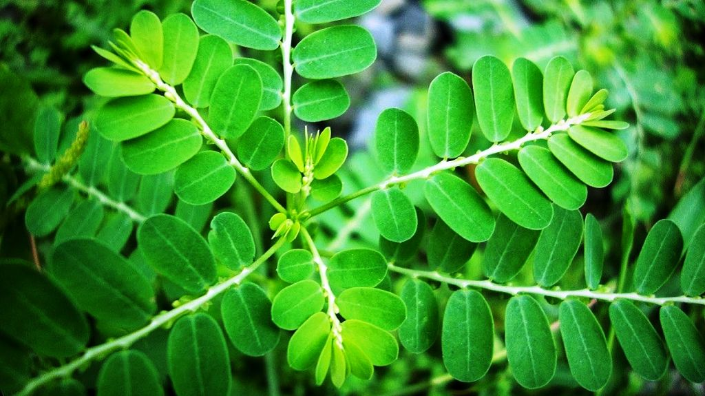 moringa by products