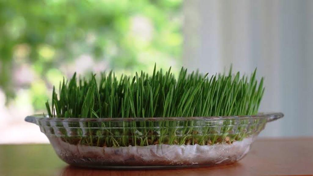 How to grow wheat grass seeds?