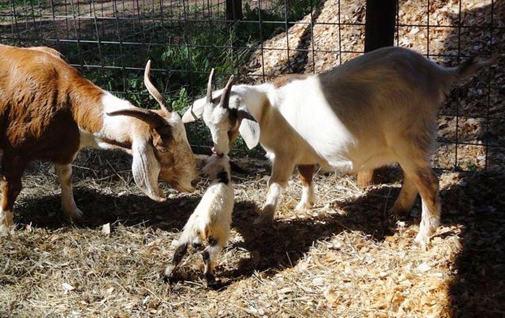 Profitable goat framing workshop