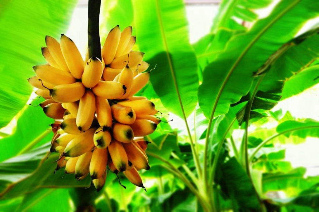 Profitable banana cultivation